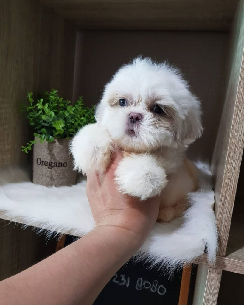 shih tzu puppies for sale cheap